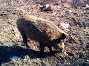 Divlje_svinje_gater_Klanac-6